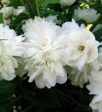 Выращивание жасмина в саду. На садовых участках все чаще можно встретить раскидистый кустарник, который во время цветения покрыт множеством ароматных цветов
