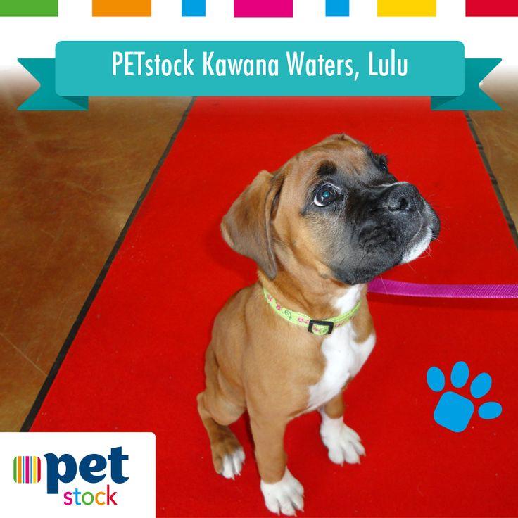 Lulu the PETstock Kawana Waters winner