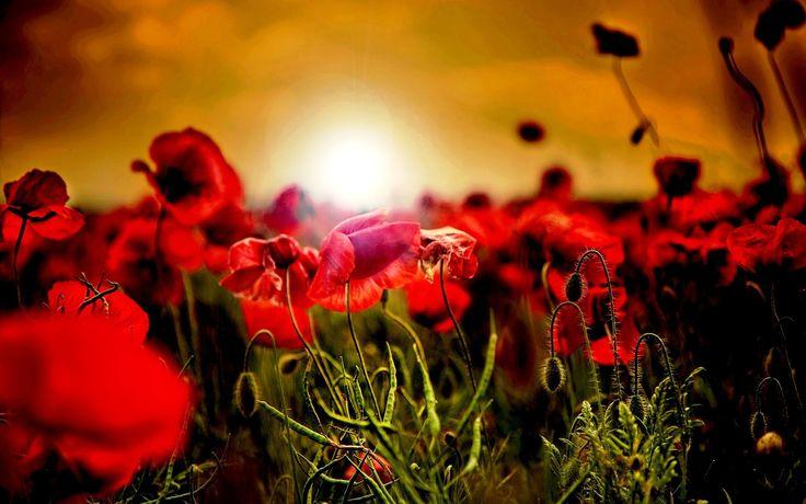 Poppies Field Wallpaper