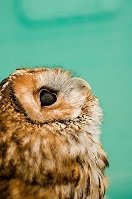 owl, beautiful!