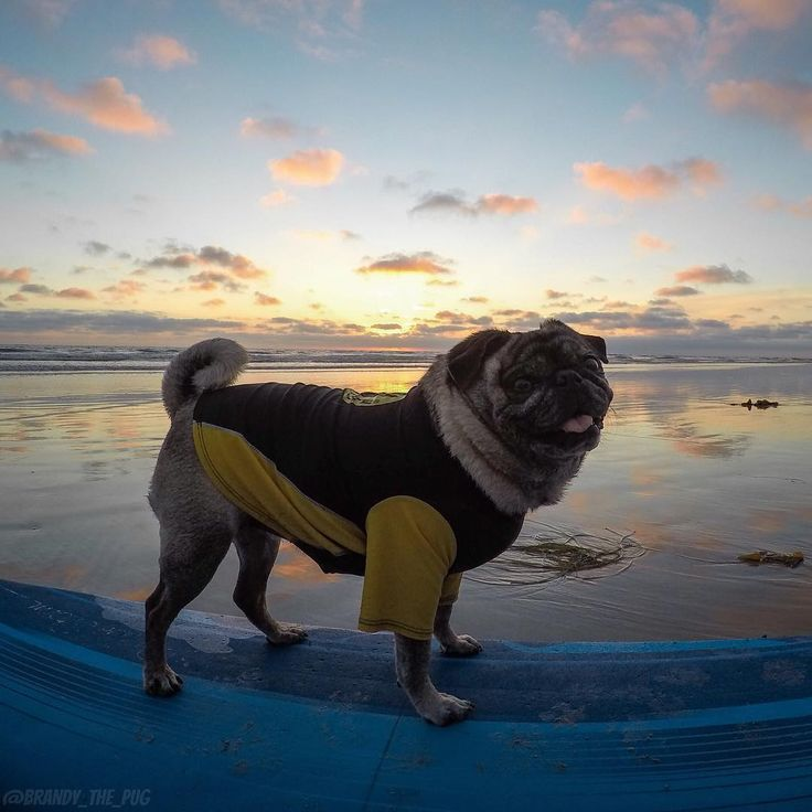 Best Dog Images On Pinterest Instagram Ps And Comment - Brandy the award winning surfing pug