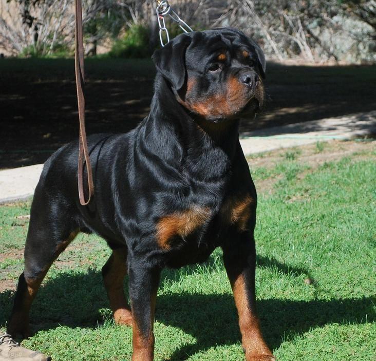 Rottweiler Loving Confident And Loyal German Rottweiler