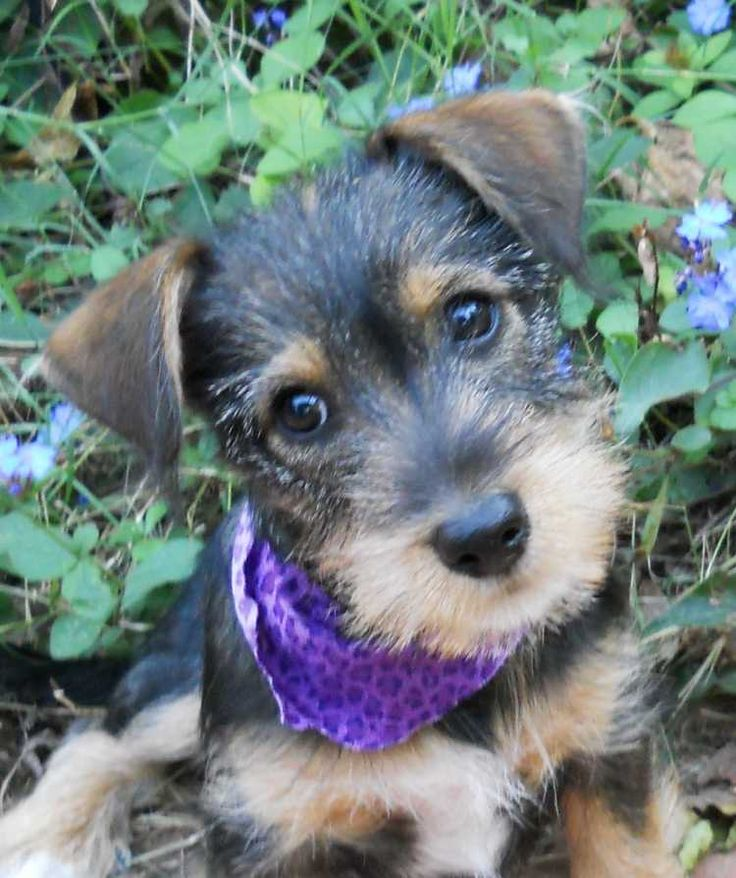 Dachshund / Miniature Schnauzer cross omg so cute!