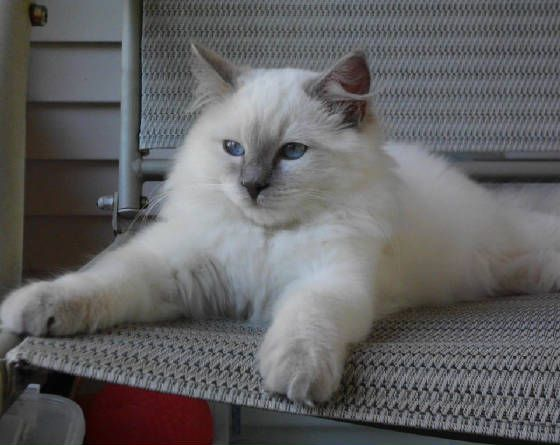 Ragdoll Lilac color point traditional