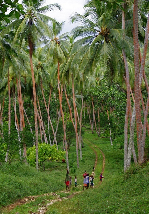 Palm forest in Republic of Vanuatu, an island nation located in the South Pacific Ocean.