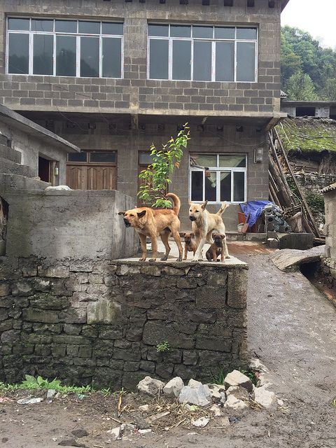 Dogs in Guizhou, China https://www.facebook.com/ACTAsiaForAnimals https://twitter.com/Tweet_ACTAsia https://www.youtube.com/user/ACTAsia1 http://www.oninstagram.com/profile/actasia https://www.linkedin.com/company/actasia-for-animals http://actasia.tumblr.com/
