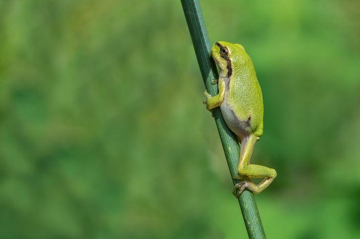 In enkele kleine natuurgebieden in Belgisch Limburg en Nederlands Limburg kan je boomkikkers (Hyla arborea) vinden.