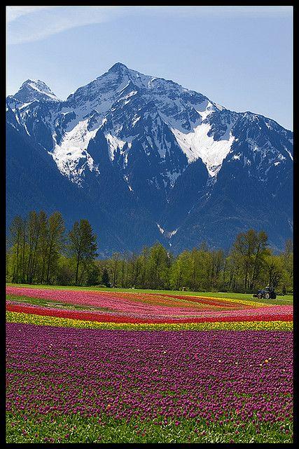 Tulips under Mount Cheam, Fraser Valley, British Columbia