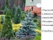 1. Thuja occidentalis 'Aurea' 2. Juniperus scopulorum 'Blue Arrow' 3. Nepeta sibirica 4. Picea glauca 'Conica' 5. Picea pungens f. glauca (C...