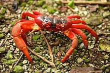 """The Christmas Island red crab (Gecarcoidea natalis) is a species of land crab that is endemic to Christmas Island and the Cocos (Keeling) Islands in the Indian Ocean ... Christmas Island red crabs are well known for their annual mass migration to the sea to lay their eggs in the ocean."""