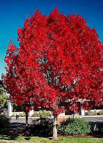 Raywood ash provides not only a great shape but, in the fall, it turns a gorgeous claret burgundy.