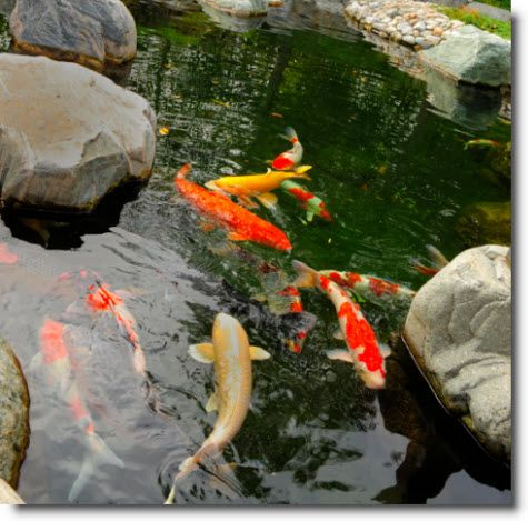 17 best images about japanese koi on pinterest japanese for Carp pond design