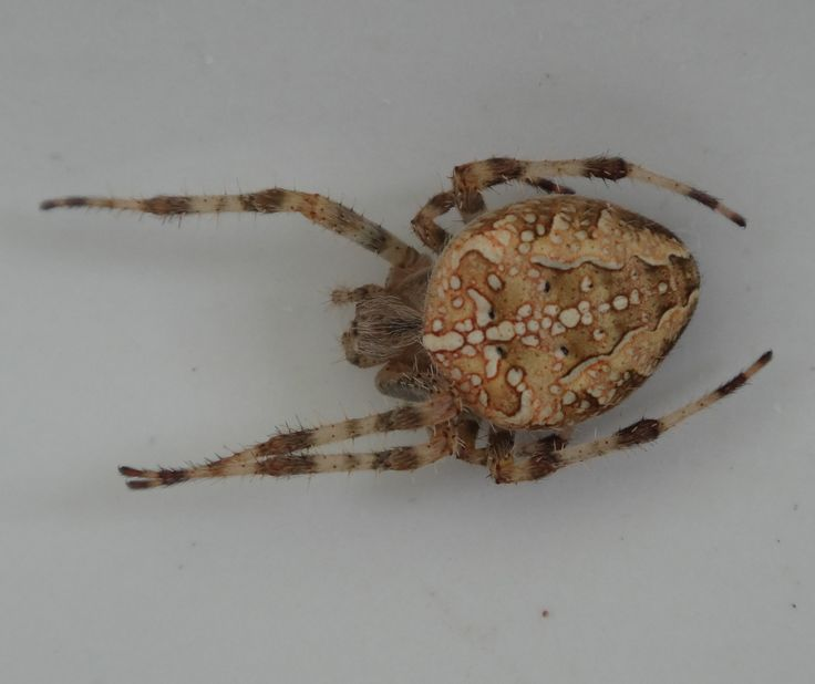 Tidy spider, lost a leg