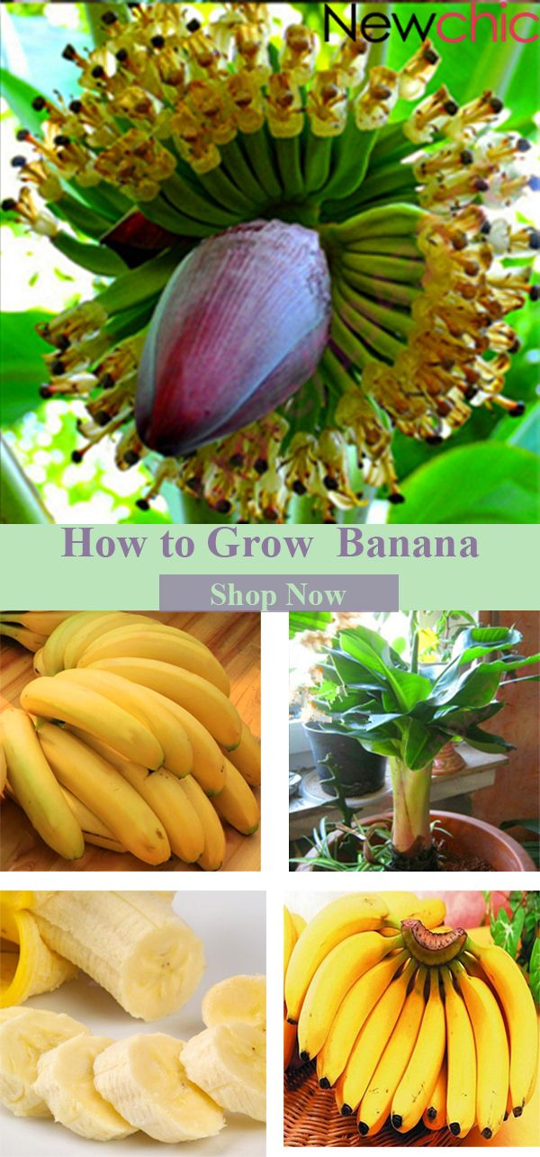 What to grow in your garden? -- Egrow 200Pcs Graden Banana Seeds Outdoor Dwarf Fruit Trees Banana Milk Taste Perennial Potted Fruit#newchic#garden#spring#fruit#seed