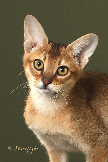Quot Dancer Quot A Brown Ticked Chausie Male Photo By Starrlight