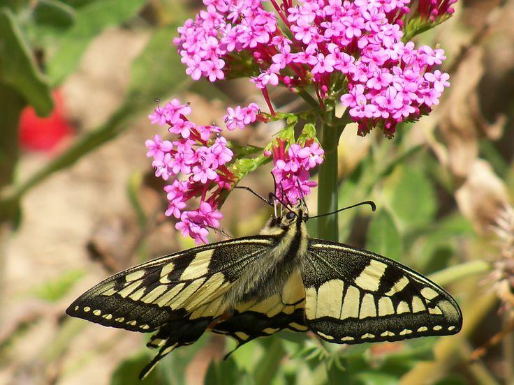 My butterfly 1