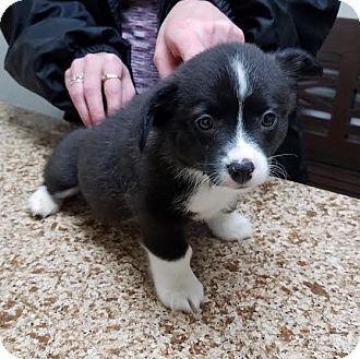 Newcastle, OK - Corgi/Chihuahua Mix. Meet Cupid, a puppy for adoption. http://www.adoptapet.com/pet/17900575-newcastle-oklahoma-corgi-mix