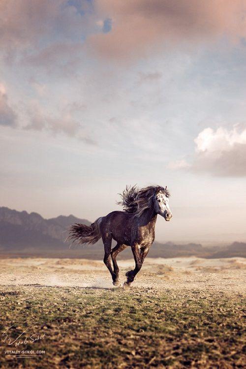 Lone Wild Dark Gray Mustang Running Across the Plains.