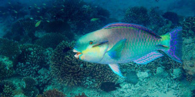 Que peixe é esse? O peixe-papagaio    Um peixe que fabrica areia  DE ONDE vem a areia? De muitos lugares. Mas você talvez se surpreenda por saber que ela também vem de um peixe. Ele tritura coral até se tornar areia fina. Que peixe é esse? É o bodião também conhecido como peixe-papagaio.  O peixe-papagaio vive em águas tropicais em todo o mundo. Depois de triturar e engolir pedaços de coral esse peixe extrai deles partículas de comida e então expele o restante em forma de areia. Nesse…