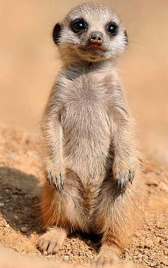 Meerkat- my favorite