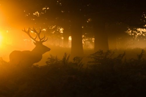 Stag in the mist by Stuart Harling