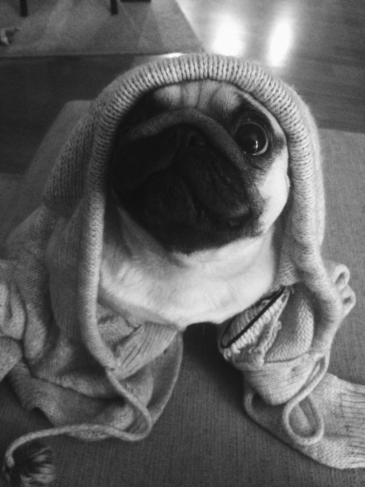 omg cutest puggie EVER!!!! I want to squeeze it!!!!!!