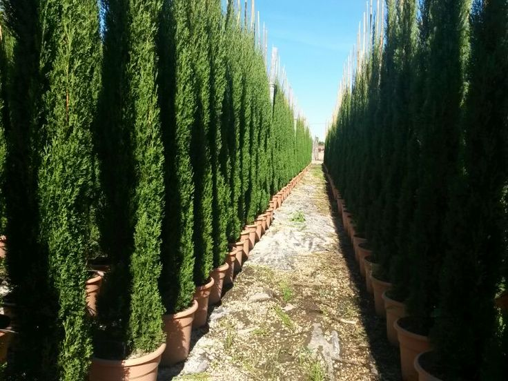 66 best italian cypress images on Pinterest | Cupressus ...