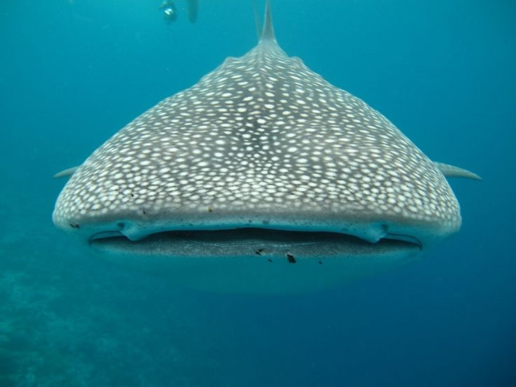 The Whale Shark - The largest fish in the world
