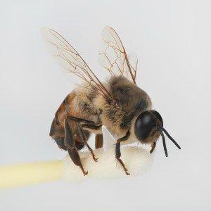 Drones: una muestra de una colmena de abejas del patio trasero saludable Mantener