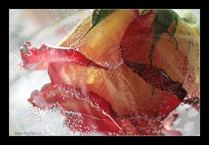 Utopená růže