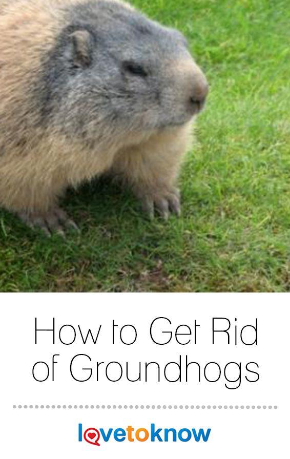 131b585de2953f902b6cfb3bdae2b452 - How To Get Rid Of Groundhogs In Vegetable Garden