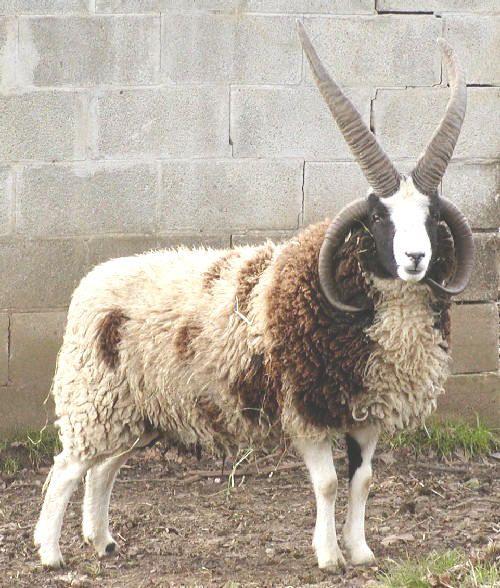 778 Best Goat Farm Images On Pinterest: Best 25+ Sheep Breeds Ideas On Pinterest