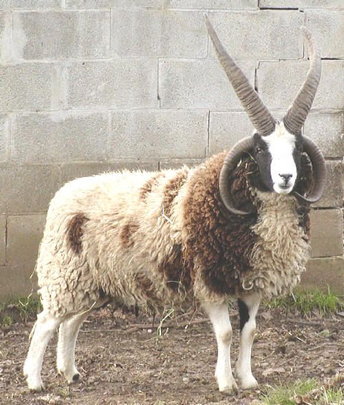 Jacobs Sheep - look at this badboy!! FOUR HORNS, y'all!! And their fleece is gorgeous to spin!!! <3