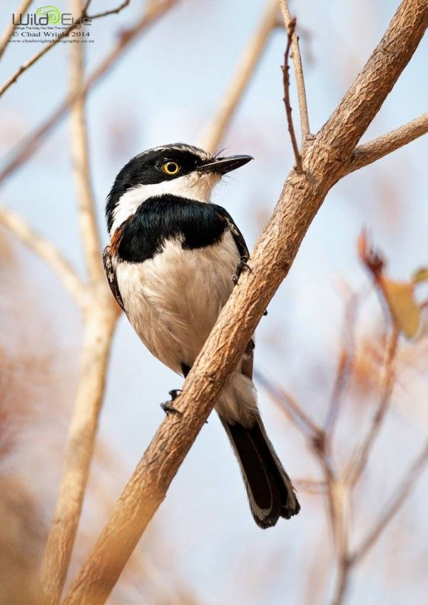 1000+ images about South African Birds on Pinterest ...