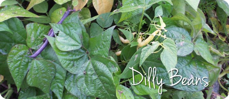 Make Dilly Beans with tri-color beans from your garden or beans you've purchased from your local farmer's market or grocery store.  YUM!