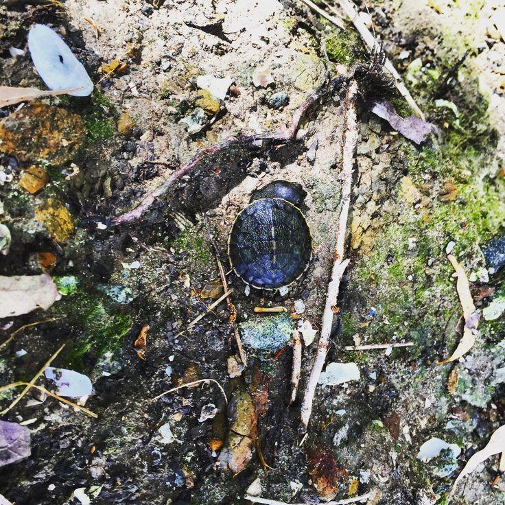 Baby Turtle at Boat Harbour Resort Hervey Bay
