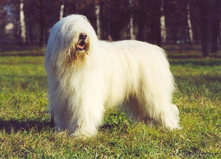 IEREMIYA » Pedigree database South Russian Shepherd Dog; born 1997, died 2007