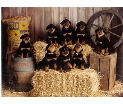 Scotties Rotties Rottweiler puppies litter B 11 PUPS - Dogs - Facebook