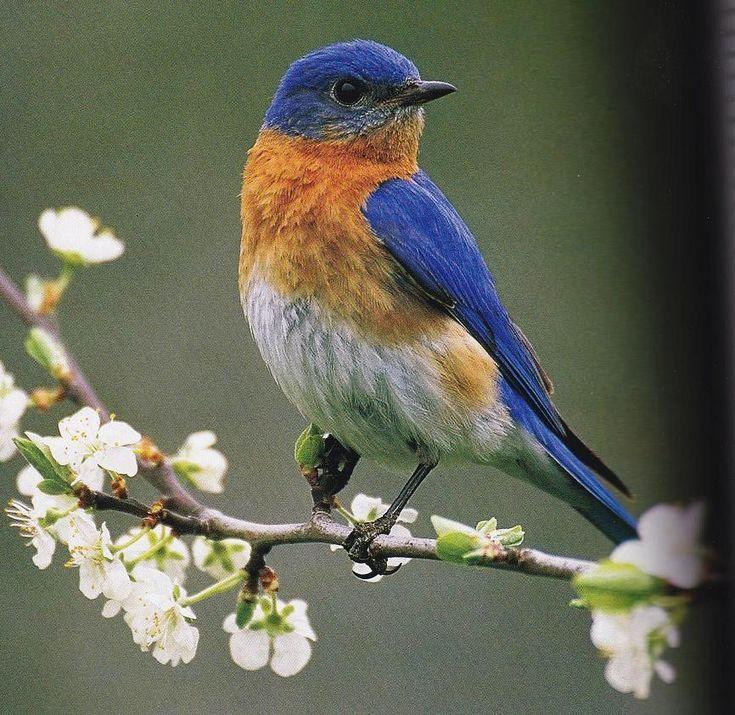 31 Best Images About Cardinal/bluebird/turkey On Pinterest