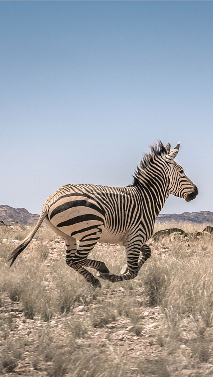 Zebra in the Namib desert, by Angola Image Bank™ | Kodilu, Lda. / 500px
