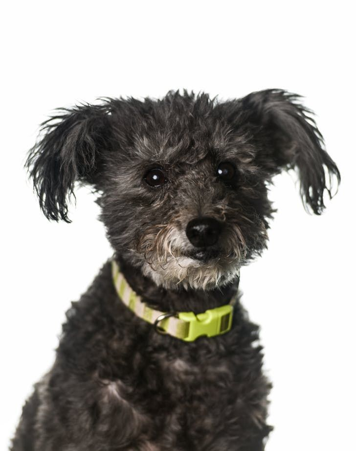 The 10 Easiest Dog Breeds To Train Cuties Dog Breeds Pumi Dog