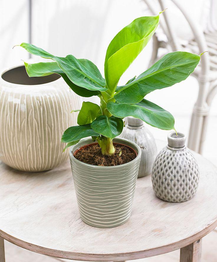 Banana Plant - 'Oriental Dwarf' | Plants from Bakker Spalding Garden Company