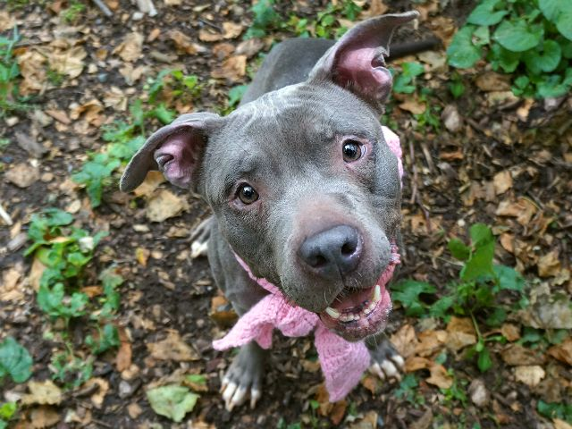 TEA -  A1113516 - - Manhattan  TO BE DESTROYED 06/02/17 A volunteer writes: Just tea for two and two for tea, just me for you and you for me…if loyal little Tea had a theme song, then this classic tune would surely be it! Adorably petite and only a few days into her stay at the Care Center, Miss Congeniality has already earned herself a host of fans, and she's got us all quite happily wrapped around her dainty wee paw. Tea loves treats, toys, attention and affec