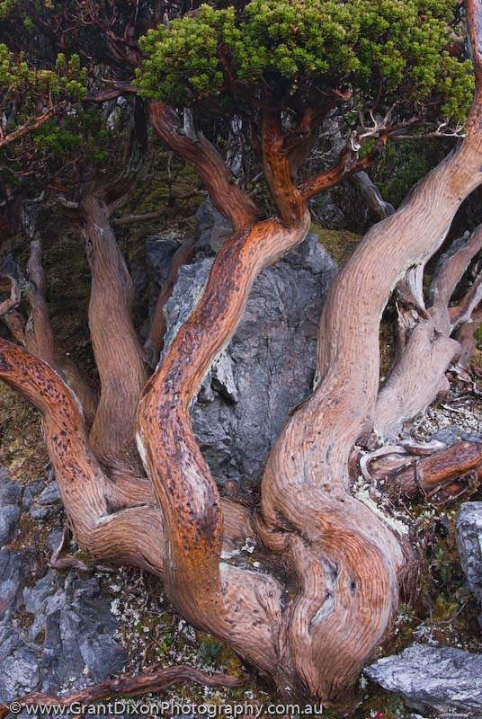 epacris, Tasmania