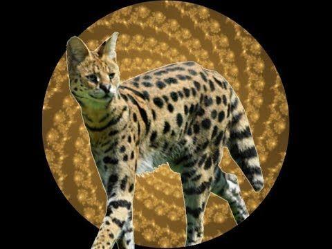 Serval Transformation Hypnosis