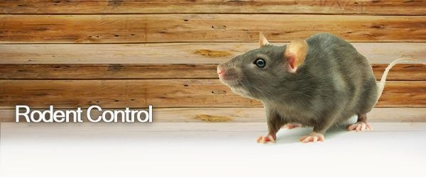 Got Rats? Should You Hire a Professional Rat Exterminator? If your hearing some weird noises you may have a rodent problem.  Why are services of a professional rat exterminator important?