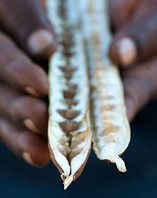 The Moringa: Tree of life for the poor! Moringa oleifera may be one of the most useful trees on the planet today. Every part from root to leaf, flower to pod, bark to wood is valuable. This drought-resistant plant is not only affordable to the rich, but to the poorest of the poor.