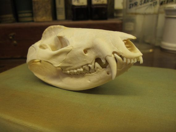 Taxidermy Animal Skull Real Bone Possum Skull by SturgisCollective, $45.00