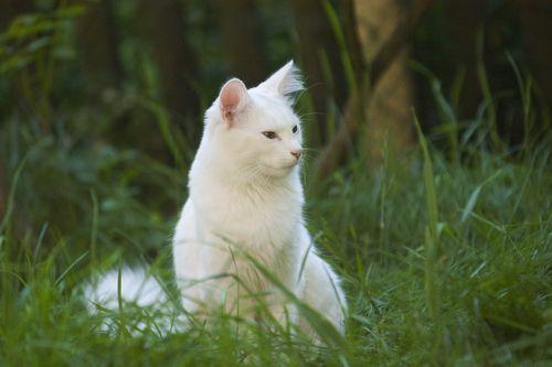 Norsk skovkat:Disse smukke katte er en anden meget stor kat, med hanner vejer i gennemsnit 13-22 pounds! Det virker som meget af det kunne være hår, men disse katte er faktisk ret muskuløs. Deres lange frakker er vandtætte til at hjælpe dem med at overleve de skandinaviske vintre, hvorfra de stammer.