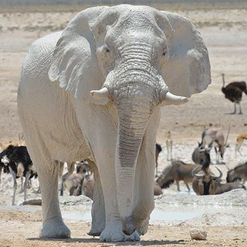 "geographicwild: "" . photo by @rontgen_za White Ghost of Etosha Newbrownii Waterhole, Etosha NP"